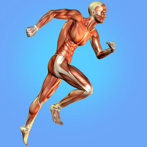המחשה של שרירים